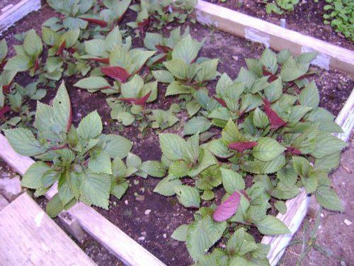 trồng cây tía tô như thế nào