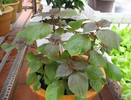 cách trồng cây tía tô