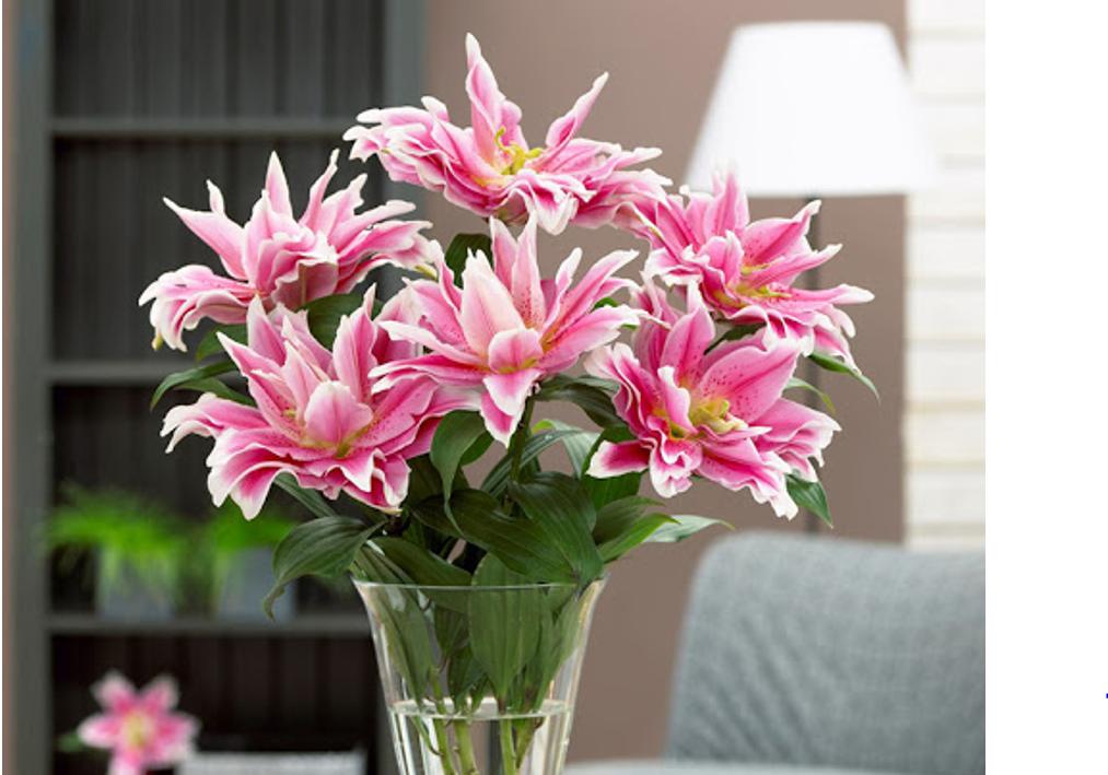 Mẫu hoa ly kép màu sắc đậm nhạt không kém phần hương sắc